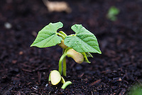 Close up of bean seedlings emerging from the soil and showing their first set of leaves.
