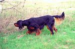 Gordon Setter<br /> <br /> Shopping cart has 3 Tabs:<br /> <br /> 1) Rights-Managed downloads for Commercial Use<br /> <br /> 2) Print sizes from wallet to 20x30<br /> <br /> 3) Merchandise items like T-shirts and refrigerator magnets