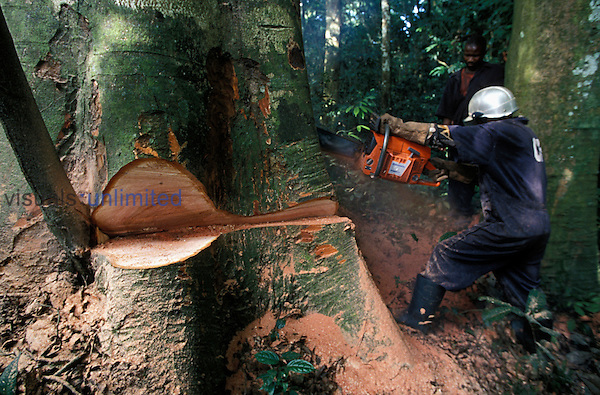 Forester wearing protective clothing cutting a huge rainforest tree with a chainsaw. Kayate, Oriental Province, Democratic Republic of Congo.