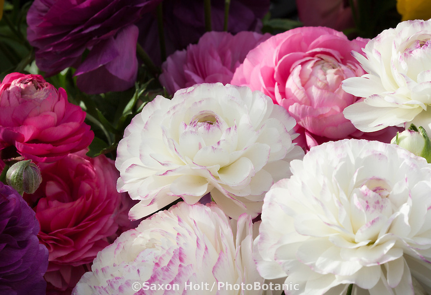 Ranunculus 'Bloomingdale' white flowers in mix at California Spring Trials