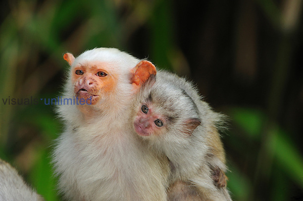 Silvery Marmoset with baby (Mico argentatus), Brazil. Captivity