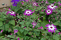 Osteospermum white with purple lavender edges picotee, with round hoop plant staking stakes plant rings for support
