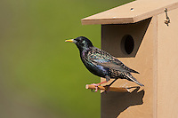 Star am Nistkasten, Sturnus vulgaris, European starling