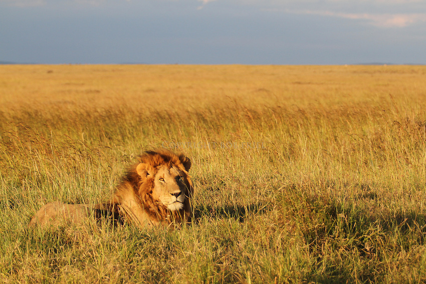 Kenya Wildlife: A lion, one of the Masai Mara's Marsh Pride males, lies overlooking his grasslands at sunset.