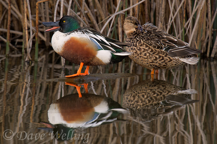 578380006 a wild male or drake and a female northern shoveler anas clypeata in a pond at colusa national wildlife refuge califonia