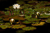 White water lily, Larkwhistle Gardens, Bruce Peninsula, Ontario, Canada.