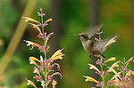 Ruby-throated hummingbirds -- Archilochus colubris -- are a frequent late summer  visitor to the U.S. Botanic Garden.