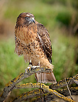 The Red-tailed Hawk (Buteo jamaicensis), captive.