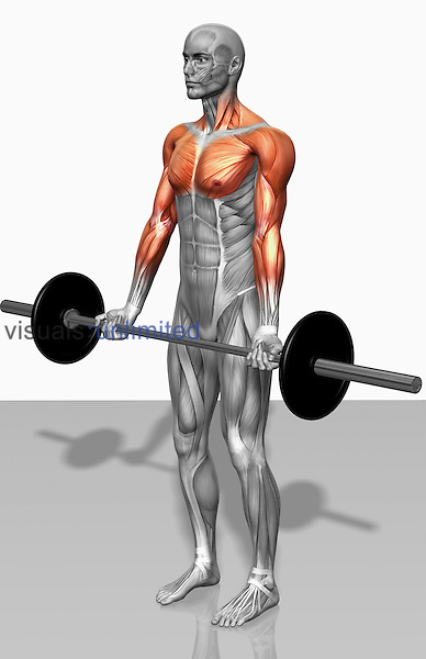 The muscles involved in biceps curls (flexion). The agonist (active) and stabilizer muscles are highlighted. Royalty Free