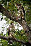 Two Cooper's Hawk looks down from a tree in Cambier Park in Naples on Friday. Clearing of the land for the construction on the $9 million garage Sixth Avenue South and Eighth Street South has begun in Naples. Erik Kellar/Staff
