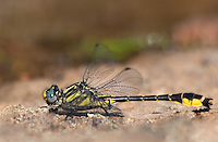 333900010 a wild male banner clubtail dragonfly gomphus apomyius perches on a rock along indian creek jasper county texas united states