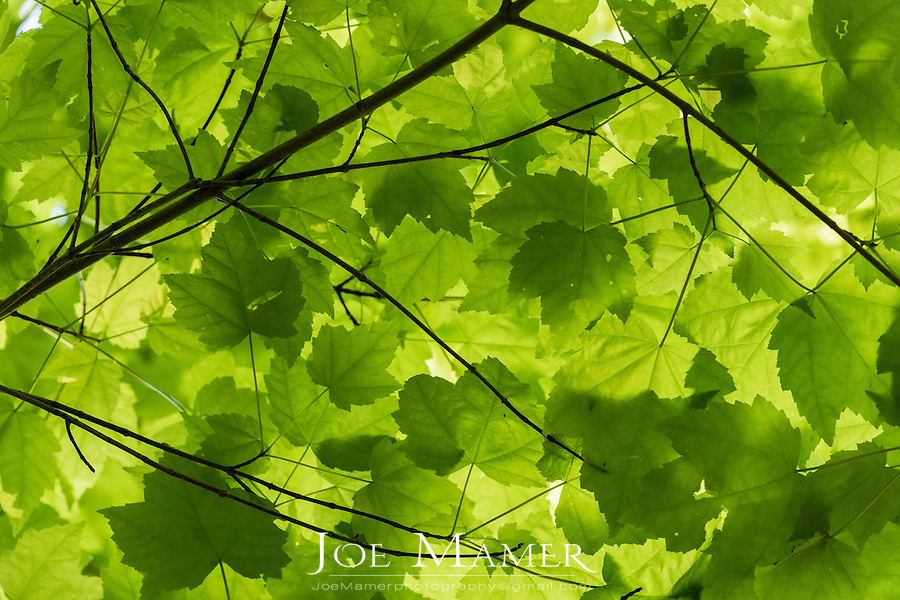 Green canopy of maple leafs in springtime.