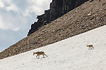 A mountain goat and its kid descend a snowfield in Glacier National Park, Montana.