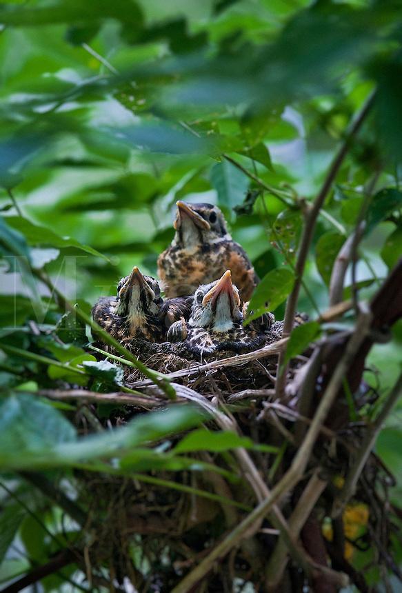 Robin chicks in nest.