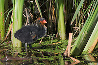 Baby American Coot standing in some shallow water