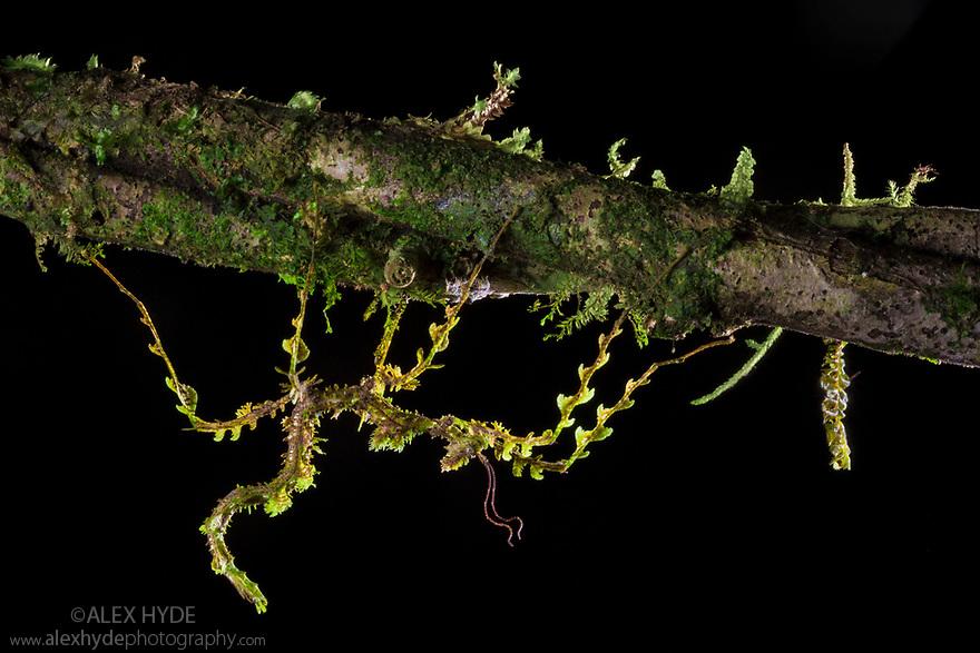 Moss Mimic Stick Insect (Trychopeplus laciniatus) showing amazing camoflage on mossy vine. Photographed in tropical rainforest, Cordillera de Talamanca mountain range, Caribbean Slopes, Costa Rica. June. Equipment: Canon 5D MK III, Canon 100mm Macro Lens, off-camera flash. Exposure settings: f22, 1/160 sec, ISO 200