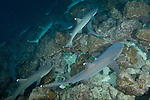 Cocos Island, Costa Rica; Whitetip Reef Sharks (Triaenodon obesus) pack hunting at night
