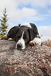 Australian Shepherd napping on a rock