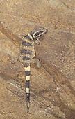 Chuckwalla (Sauromalus obesus) juvenile, Arizona, USA