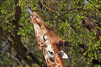 West African giraffe (Giraffa camelopardalis) eating leaves on a tree in the Zone Sahel-Soudan at the new Parc Zoologique de Paris or Zoo de Vincennes, (Zoological Gardens of Paris or Vincennes Zoo), which reopened April 2014, part of the Musee National d'Histoire Naturelle (National Museum of Natural History), 12th arrondissement, Paris, France. Picture by Manuel Cohen
