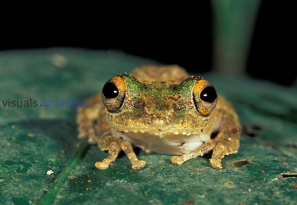 Moss Frog (Rhacophorus), Sabah, Borneo, Malaysia