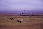 Crowned crane, Lake Manyara National Park, Tanzania