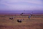 Crowned crane, Lake Manyara National Park, Tanzania