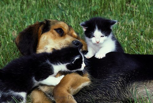 Two black and white kitten litter mates use a patient beagle dog as a playground, midwest USA