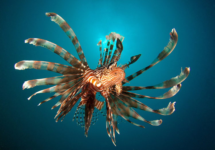 Close up view of Lionfish (Pterois volitans), Gorontalo, Indonesia