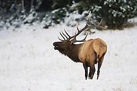 Elk, Wapiti (Cervus elaphus), bull bugling,  Yellowstone NP,Wyoming, USA