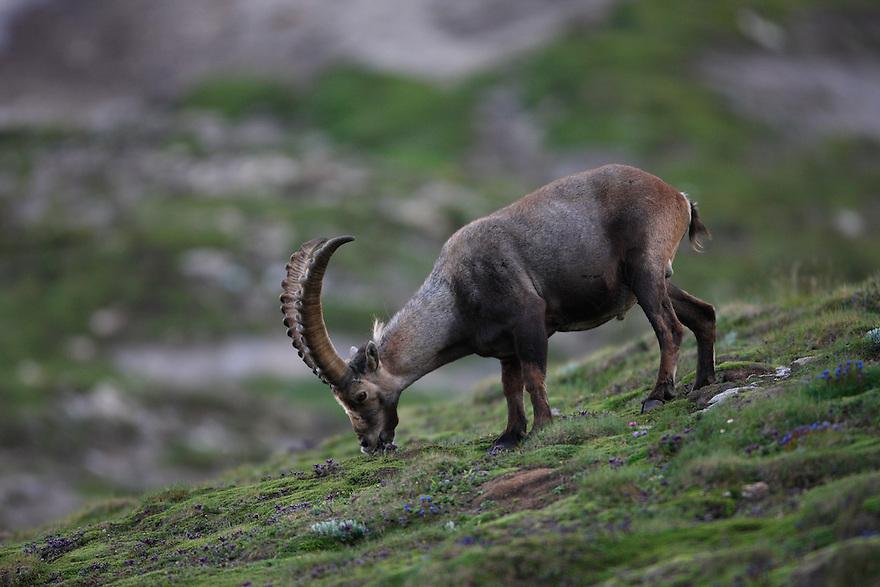 Alpine Ibex (Capra Ibex), Hohe Tauern National Park, Carinthia, Austria