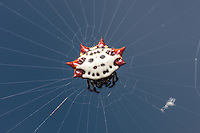 A female Spinybacked Orbweaver (Gasteracantha cancriformis) waits at the center of her web.