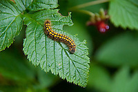 Zebra Caterpillar (Ceramica picta) on Fragrance Lake Trail, Larrabee State Park, Bellingham, Washington, US