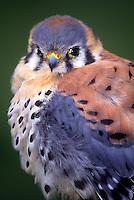 553713017 a portrait of a captive male american kestrel falco sparverius in central california united states