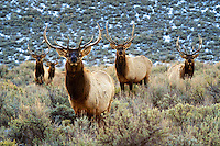 A bachelor herd of wintering elk makes a formidable front line.