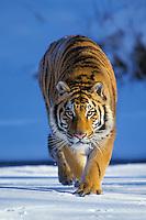 Siberian tiger or Amur Tiger (Panthera tigris altaica).