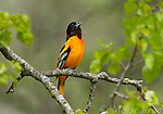 Baltimore Oriole (Icterus galbula) male singing in spring, New York, USA