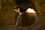 "Male Carola's Parotia at his display court.  Doing the ""ballerina"" display..."