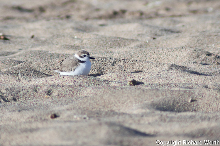 All done - a snowy plover has setteled into a new spot and finished fluffing its feathers at Pigeon Point.