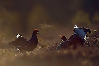 06.04.2009.Black Grouse (Tetrao tetrix) displaying on a bog. Fighting. Lekking behaviour. Courting..Bergslagen, Sweden.