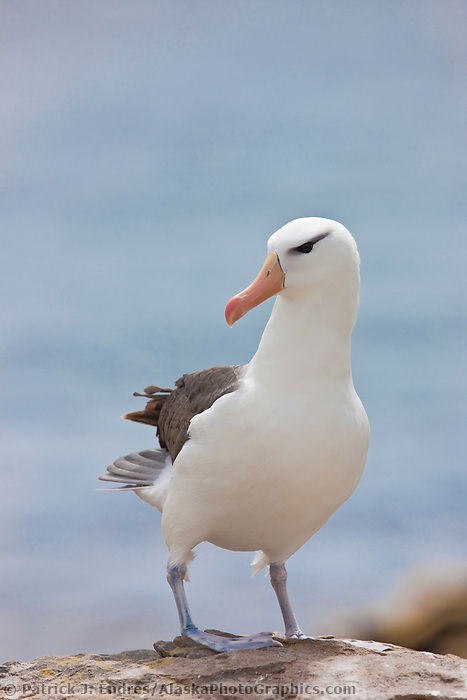 """Black-browed albatross has a 79-94"""" wingspan and a natural lifespan exceeding 70 years. New Island, Falkland Islands"""