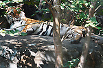 Tiger Resting on Rocky Outcrop