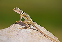 414390008 a wild great basin or desert collared lizard crotaphytus insularis bicinctores perches on a rock along chalk bluff road north of bishop inyo county california united states