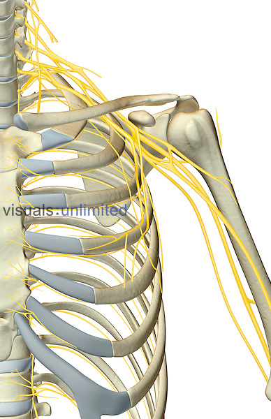 An anterior view of the nerve supply of the shoulder.   Royalty Free