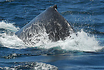 dorsal hump of humpback whale