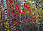Idaho, Eastern, Swan Valley. Red mountain maple leaves contrast against the yellow of quaking aspens in early October.