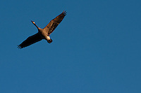 A single Canada Goose (Branta canadensis) in flight against a blue sky.