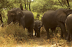 Africa, Tanzania, Lake Manyara. The matriarchs protect a young elephant calf.