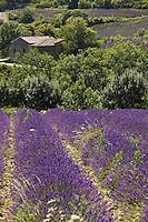 Europe/France/Rhône-Alpes/26/Drôme/Env de Souspierre: Ferme et champ de Lavande dans la vallée du Jabron