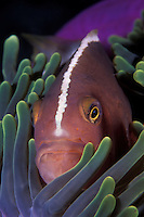 A Skunk Anemonefish, Amphiprion akallopisos, peers from the shelter of its host, a Magnificent Sea Anemone, Heteractis magnifica.  Andaman Sea